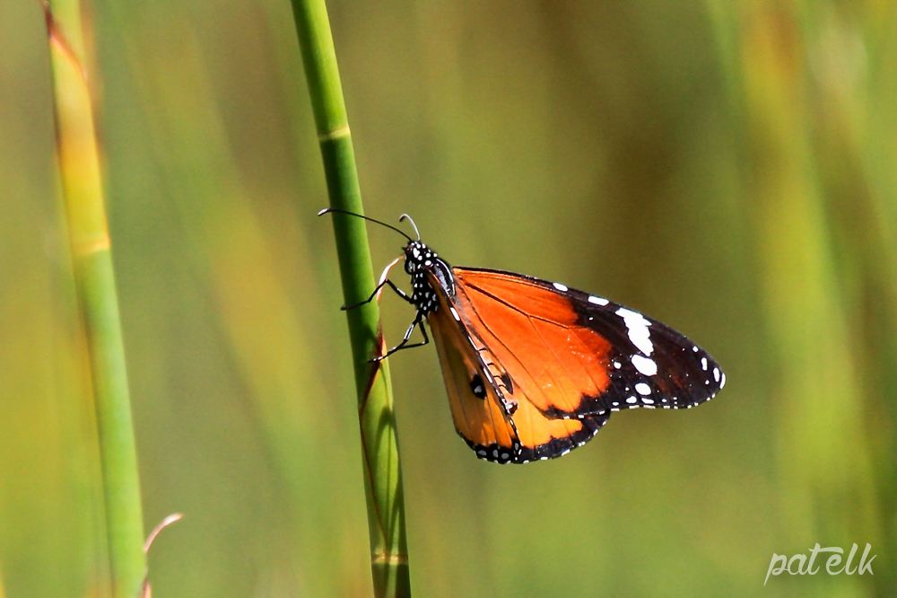 Af Monarch Bfly 2