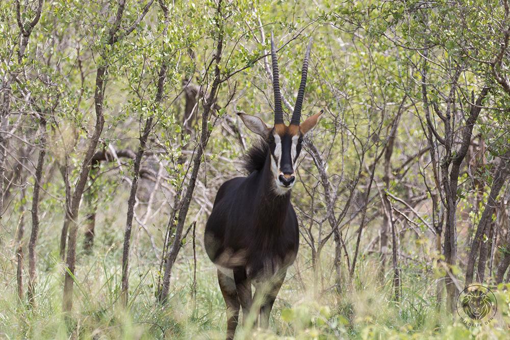 Antelope, Sable