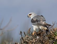 Black-Winged Kite With A Meal