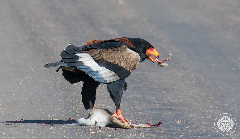 Bateleur eating
