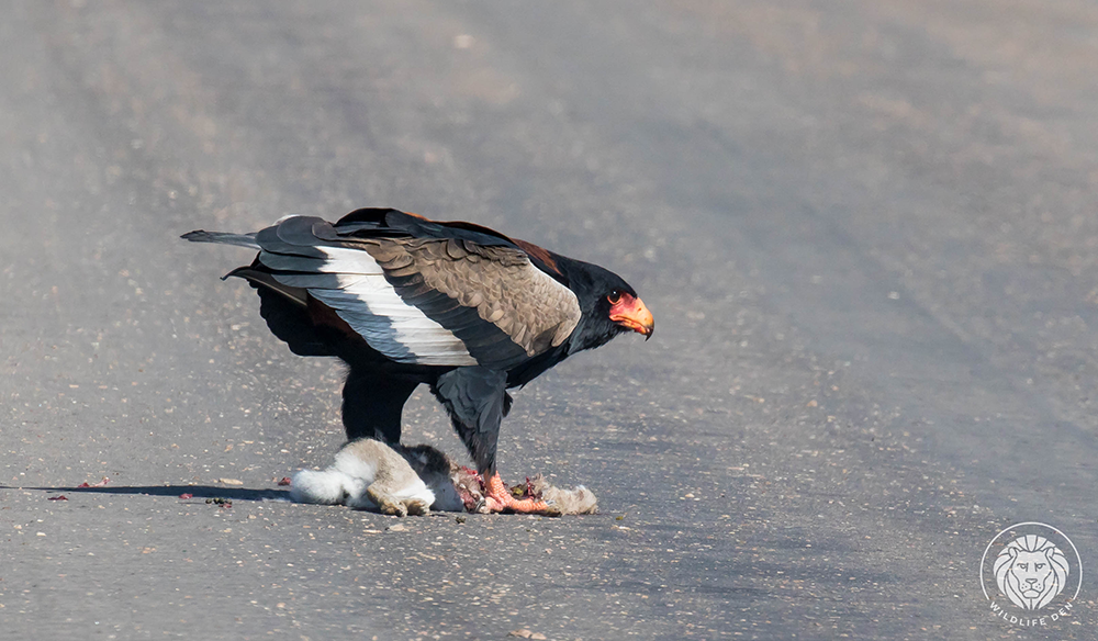 Bateleur with kill 2