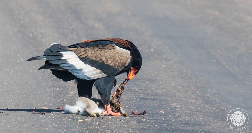 Bateleur with kill intestines