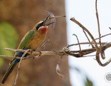 White-Fronted Bee-Eater with Dragonfly