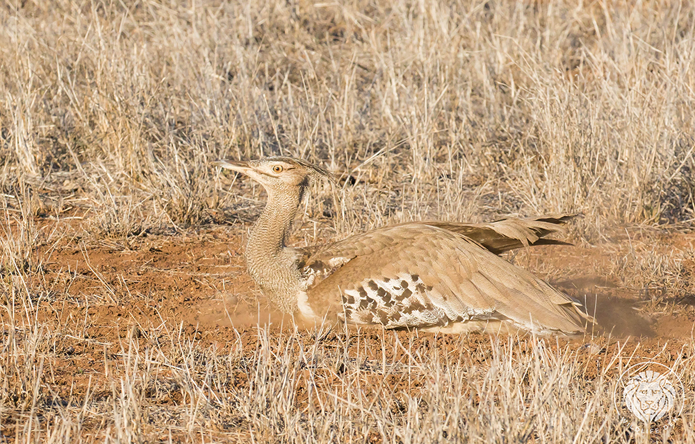 Bustard Kori, wings