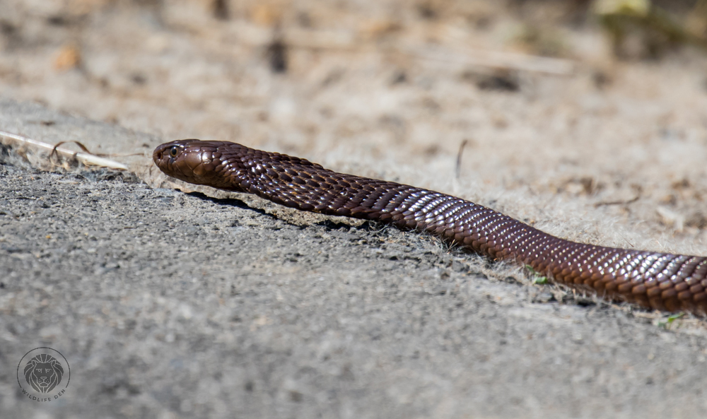 Cape Cobra 3
