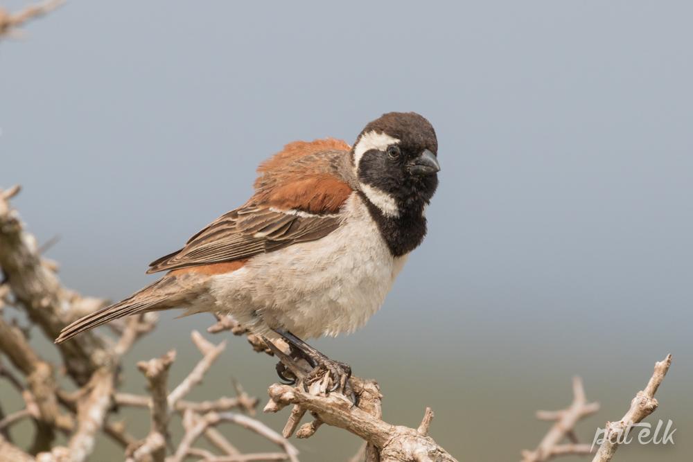 Cape sparrow M