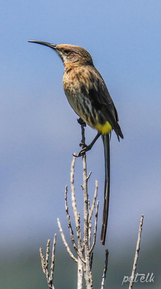 Cape sugarbird 2