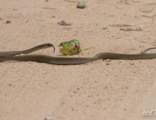 Battle Between A Chameleon And A Boomslang