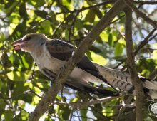 Channel-billed Cuckoo