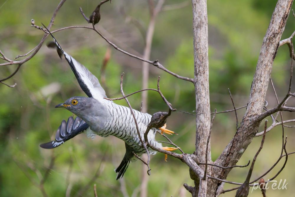 Common Cuckoo 2