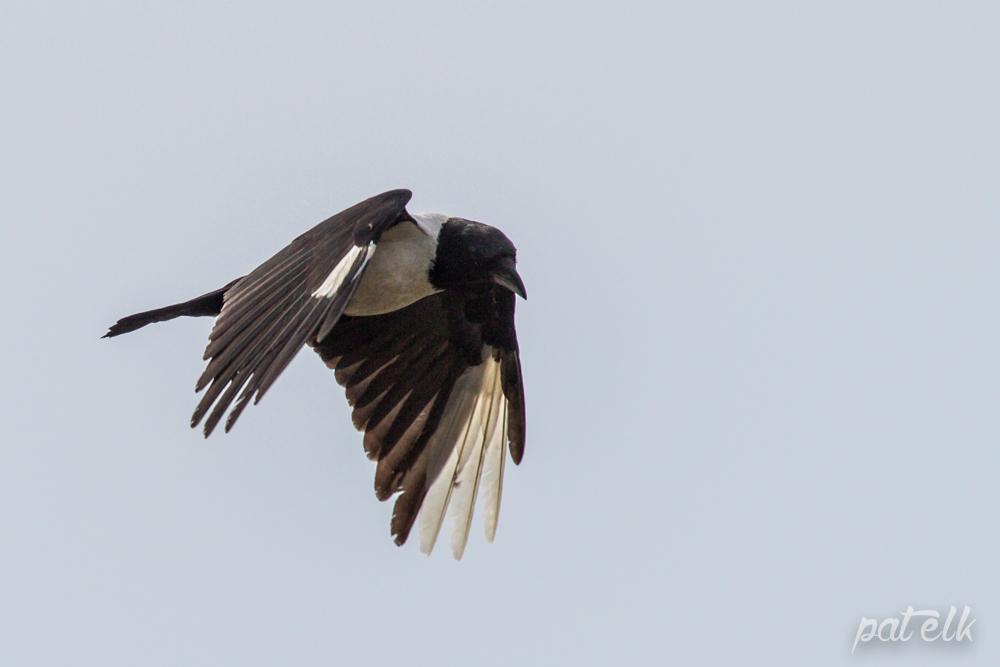 Crow with white feath