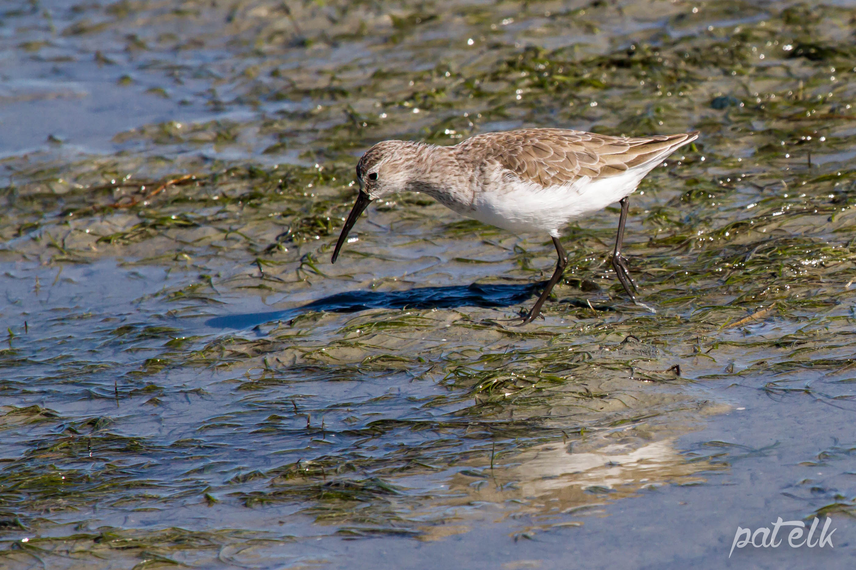 Curlew Sand Piper
