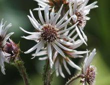White  Berkheya, Disselboom Flower