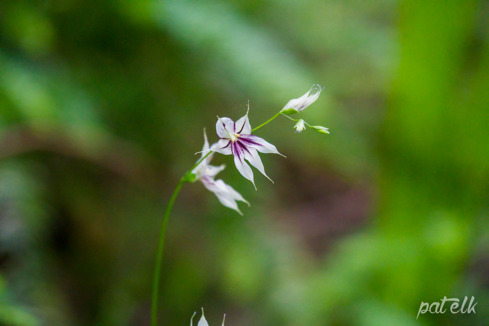 Fairy bells Melaspherula ramosa