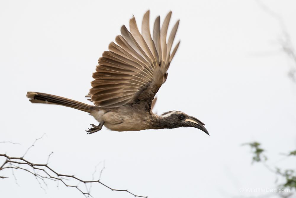 Grey Hornbill 2