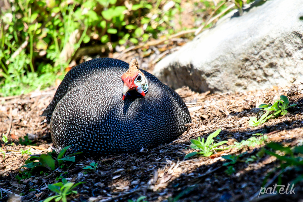 Guinea fowl on nest