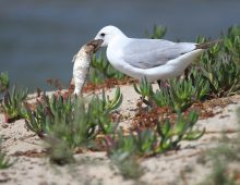 Hartlaub's Gull With Fish