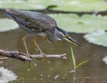 Green-Backed Heron Fishing