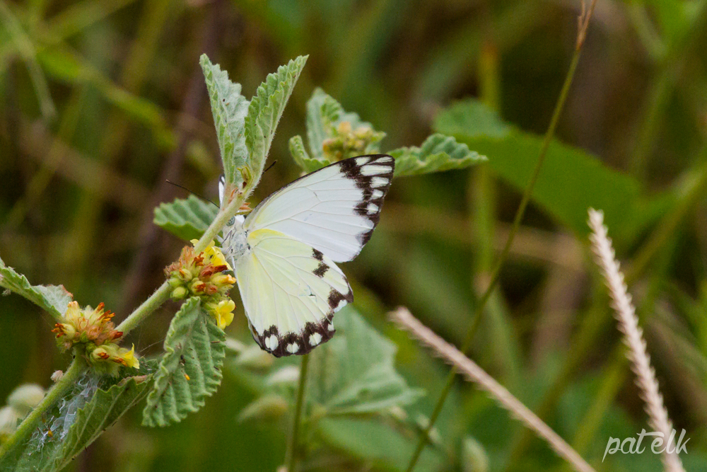 KNP African Common White Butterfly M
