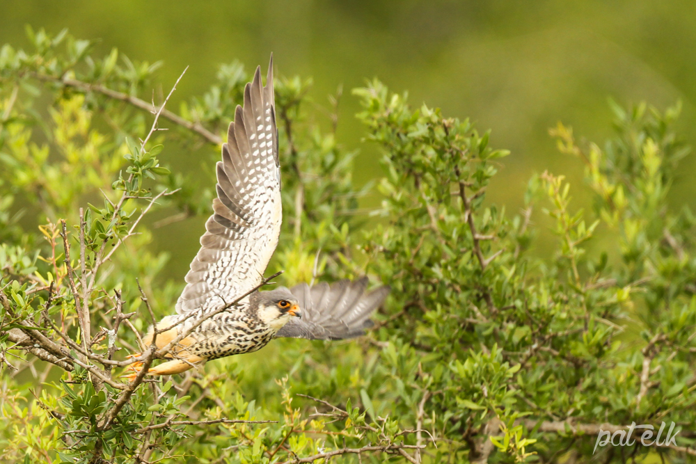 KNP Amur Falcon F 2