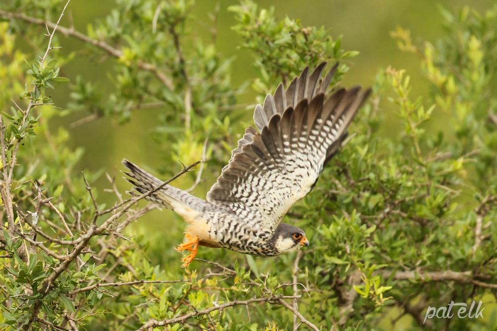 KNP Amur Falcon F