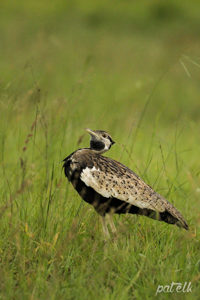 KNP Black-bellied Bustard 2