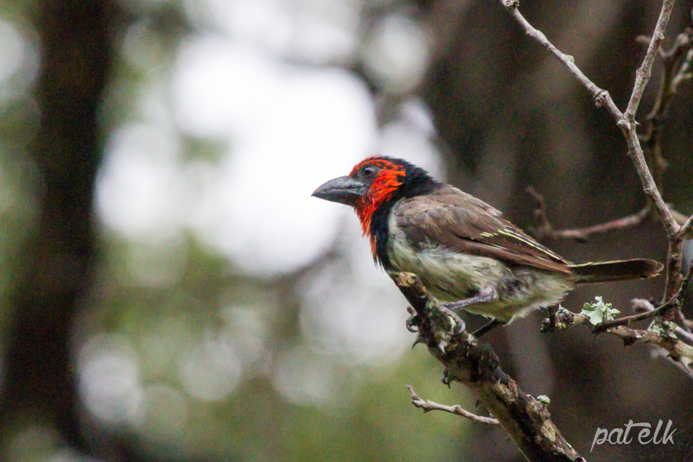 KNP Blk-collar barbet
