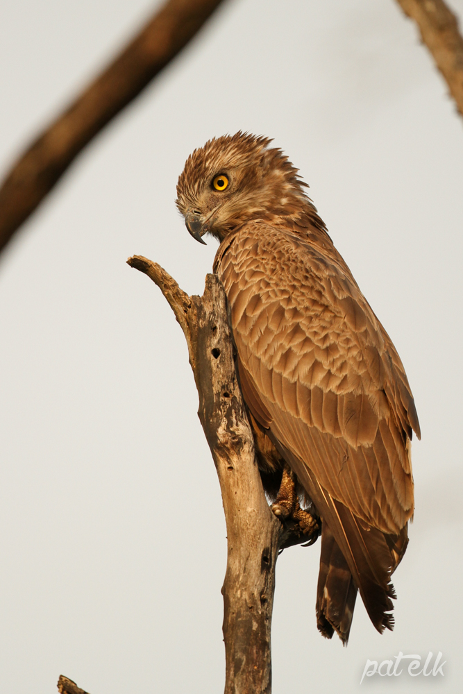 KNP Brown Snake Eagle No 1 first