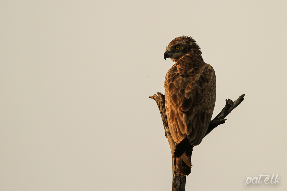 KNP Brown Snake Eagle