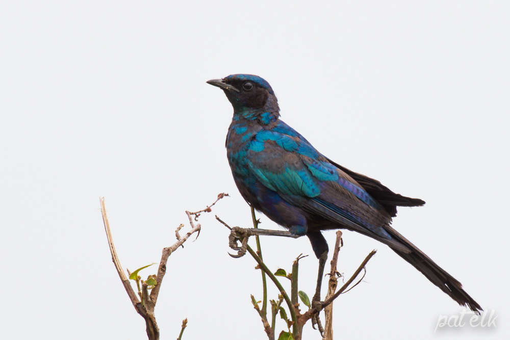 KNP Burch starling