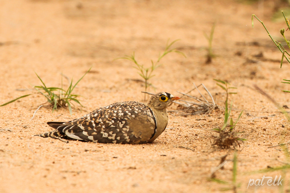 KNP DBl band Sandgrouse M