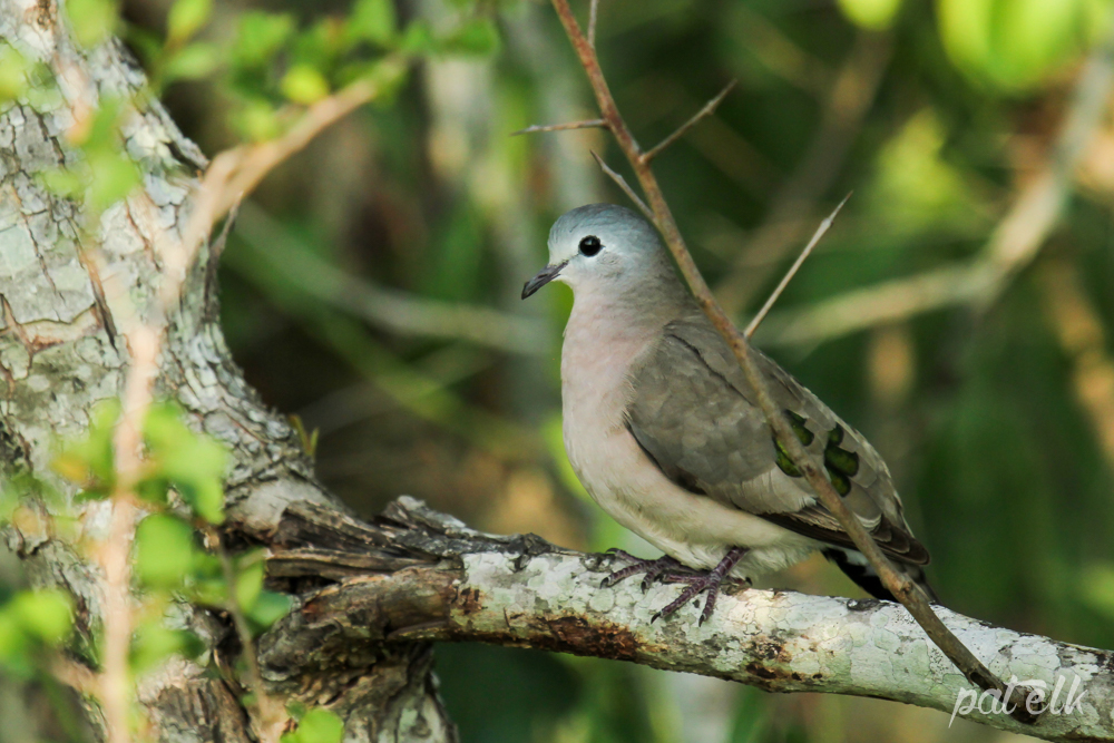 KNP Emerald spotted wood dove No 1