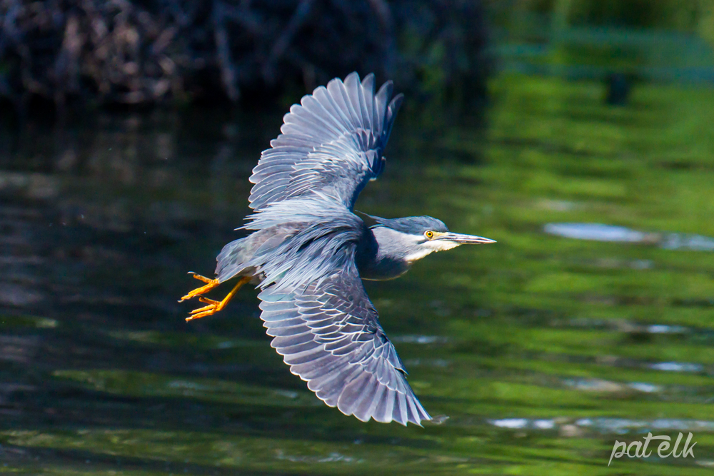 KNP Green back heron flying