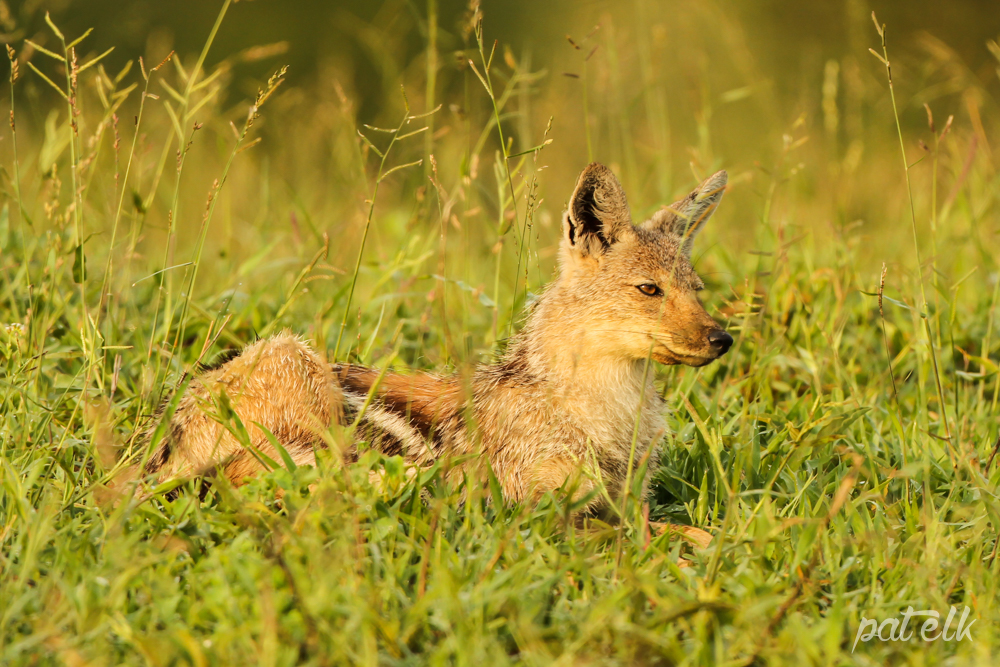 KNP Side stripe jackal