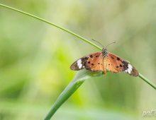 White-Barred Acraea Butterfly