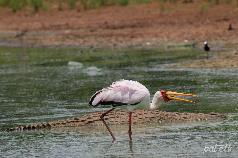 KNP YB Stork Fish 2