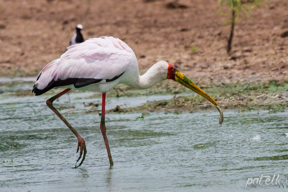 KNP YB Stork fish 3