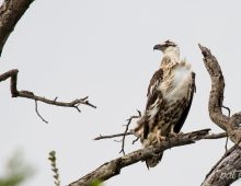 Juvenile African Fish Eagle