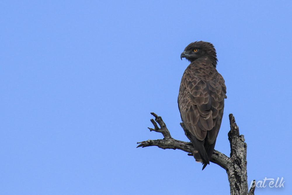 KNP snake eagle