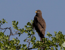 Yellow-Billed Kite With Kill