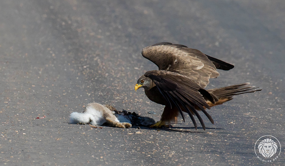 Kite, yellow billed finds a kill