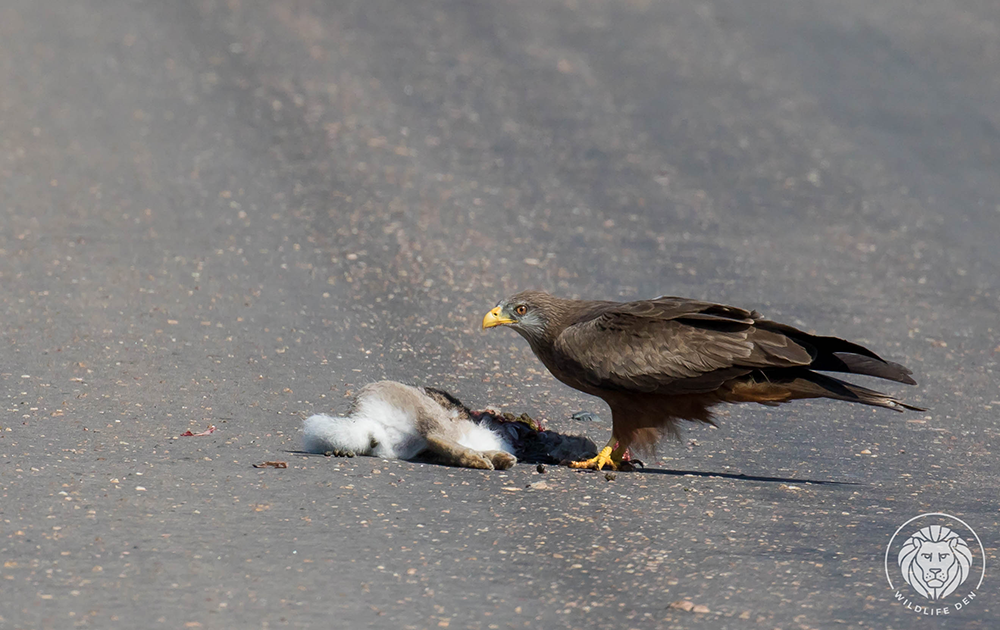 Kite, yellow billed with kill