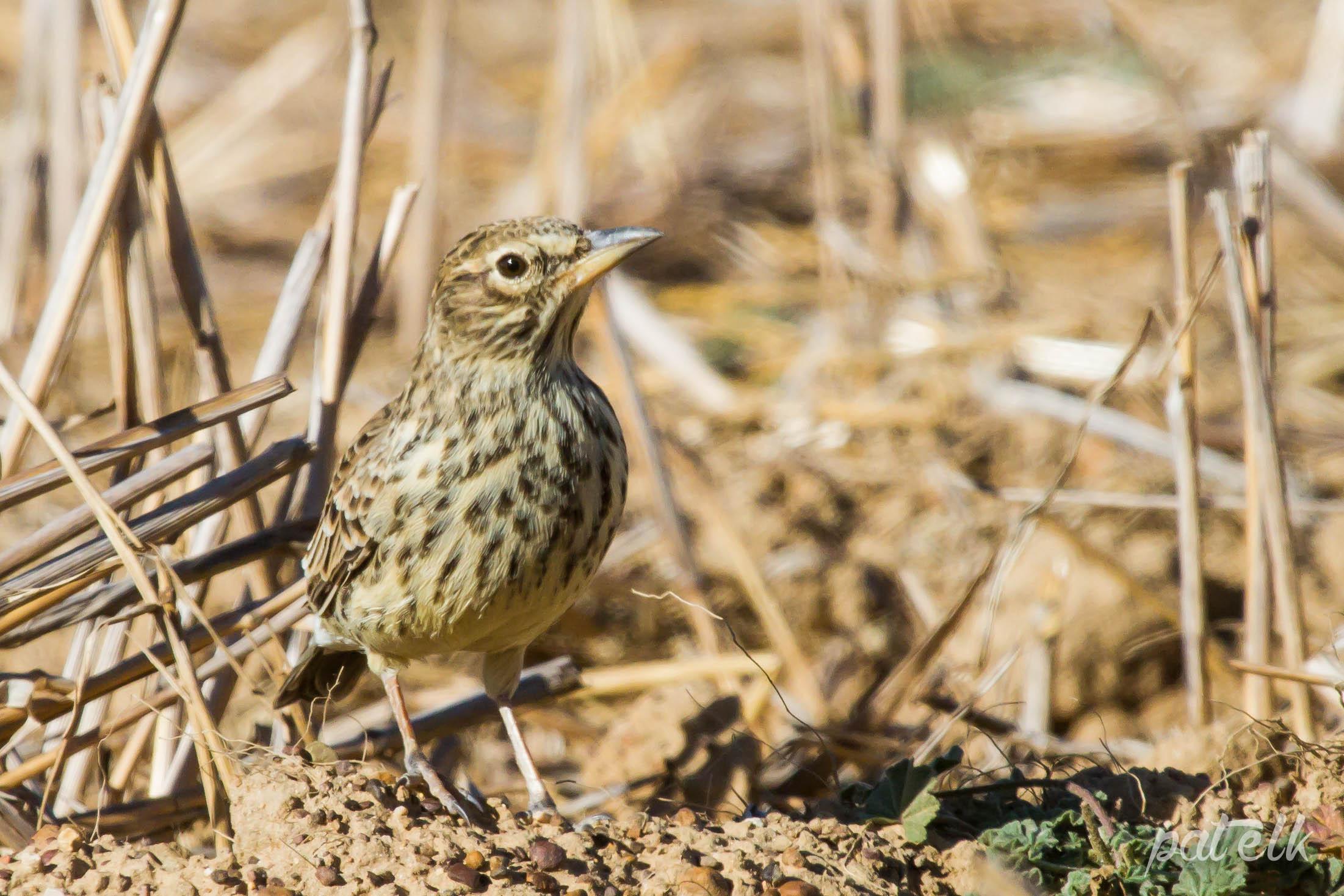 Large billed lark