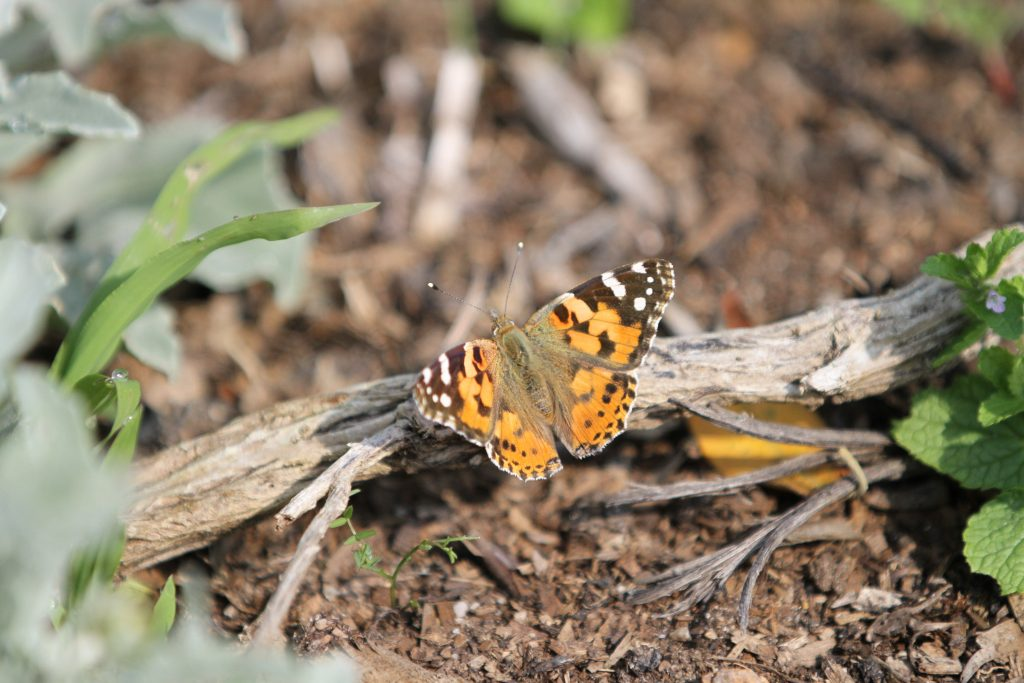 Painted lady bfly