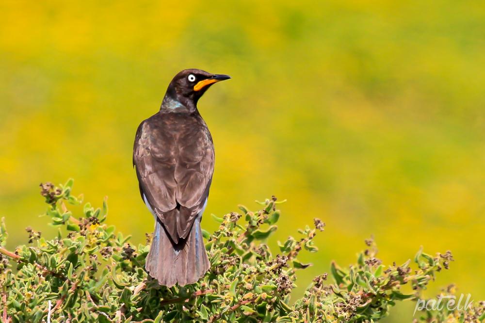 Pied Starling no 1