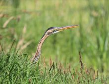 The day a Purple Heron ate a bird