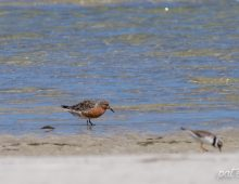 Red Knot In Breeding Colours