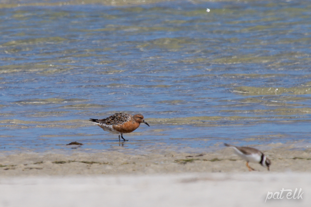 Red Knot 2