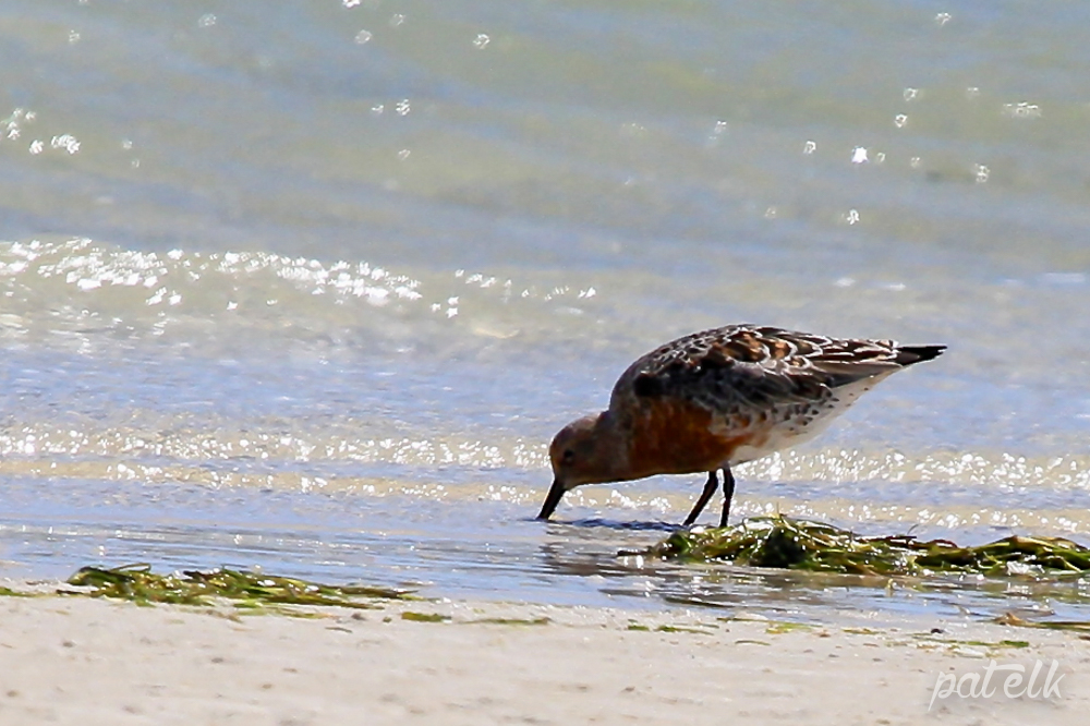 Red Knot 6