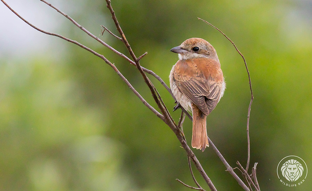 Red-bach Shrike, back F